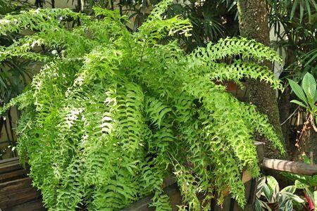 Green fern for decorating garden 写真素材