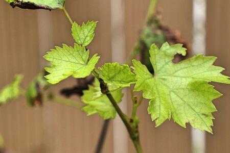 Grape leaves in the nature Archivio Fotografico