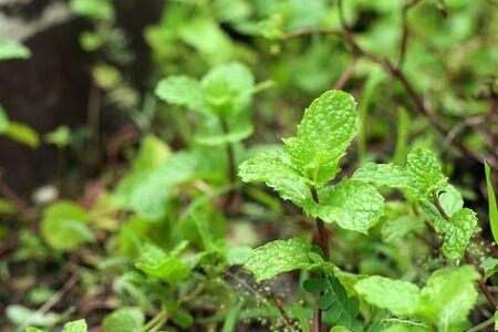 Peppermint plant in the nature Archivio Fotografico