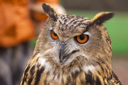 eurasian: Eurasian eagle-owl Portret Stock Photo