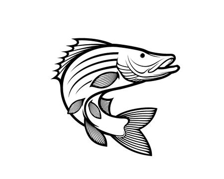 barramundi vector illustration