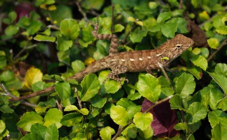 Lizard on the leaves of the bush