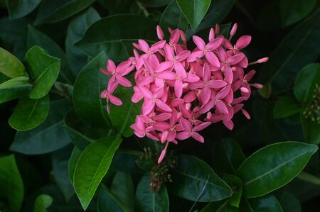 Ixora coccinea (also known as jungle geranium, flame of the woods or jungle flame) is a species of flowering plant in the family Rubiaceae. Phuket, Thailand Stock Photo