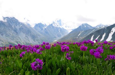 Altai-Gebirgslandschaft mit lila Blumenwieseansicht