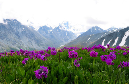 Altai Mountains landscape with purple flowers meadow view