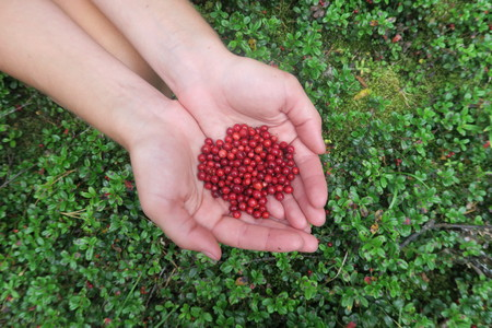 Hands holding a handful of cranberries. Picking berries Stok Fotoğraf