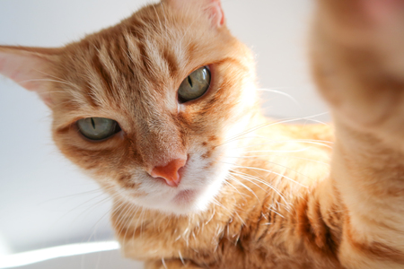 Ginger cat taking a selfie shot and looking seriously. Cute cat with green eyes 스톡 콘텐츠