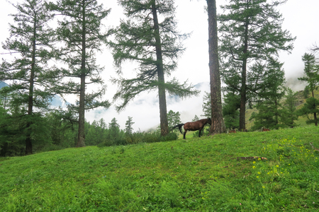 Horse on the background of misty mountains and forest view. Altai Mountains 版權商用圖片