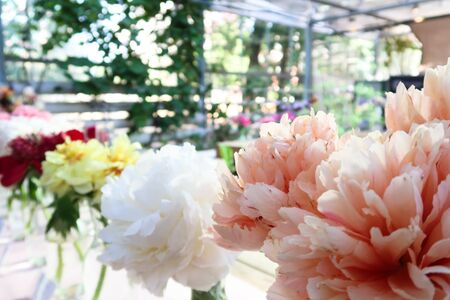 Peony flowers with large and beautiful pink petals in bloom. Peonies in the the greenhouse summer garden. Imagens