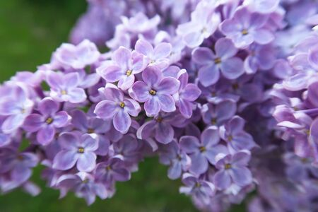 Spring blooming lilac. Lilac four and five petals