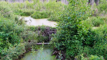 Beaver dam in the swamp. Forest beautiful landscape Imagens