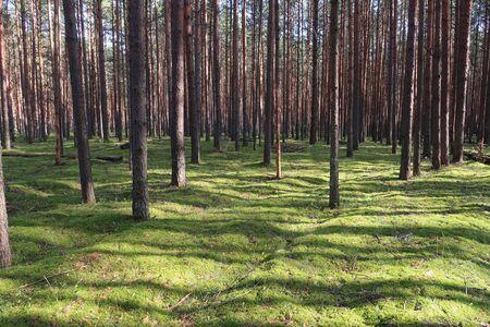 Pine forest picturesque view. Summer nature landscape Imagens