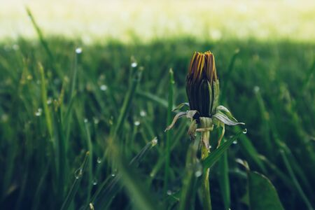 Close-up photo of closed dandelion bud on green grass blurry background. Morning dew freshness. Waking up fresh start concept 写真素材