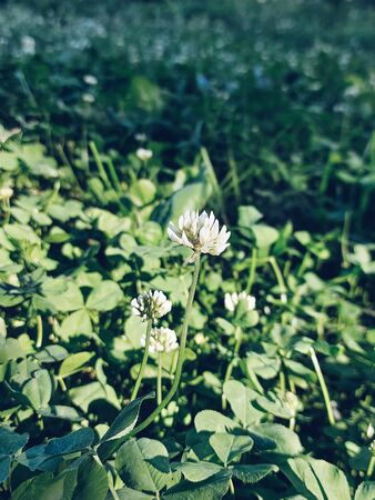 White clover flower close up. Green summer field of clover flowers and leaves in sun beams in selective focus. Blurred background. Photo for banners, posters, stories and social media. 写真素材