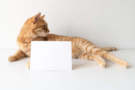 Ginger cat with horizontal postcard on white table background mockup. Cute pet animal with copy space card for your image or text. Pet shelter, veterinarian concept image