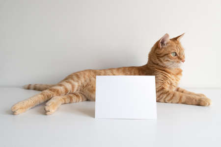 Ginger tabby cat with horizontal postcard on white table background mockup. Cute pet animal with copy space card for your image or text. Pet shelter, veterinarian concept image