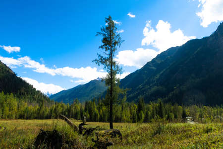 Tree in the mountain valley among high grass. Lonely fir or larch high tree standing out among the mountains on he blue sky background. Siberia. Russia Stok Fotoğraf