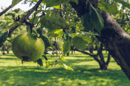 Closeup of a green apple on a tree branch in an orchard. Green apple garden in summer. Old curvy fruit trees park during sunny day, no people around. Kolomenskoe, Moscow Stok Fotoğraf