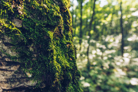 Closeup of moss on a tree, with green forest bokeh in the background, moody fantasy wallpaper with copy space. Selective focus, blurred background.