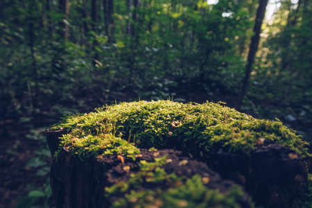 Closeup of moss on stump in sun beams with green blurred forest in the background, fantasy wallpaper with copy space. Selective focus Stok Fotoğraf
