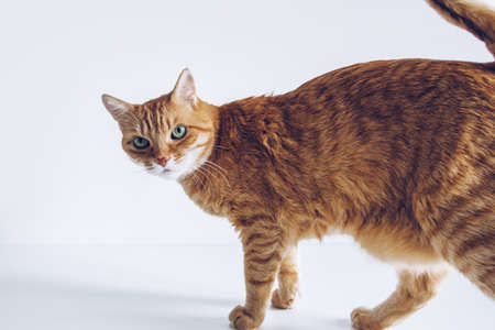 Ginger cute cat looking curiously on white background. Adorable home pet stock photo