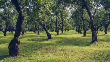Green apple garden in summer. Old curvy fruit trees orchard park during sunny day, no people around. Kolomenskoe, Moscow, Russia. Фото со стока