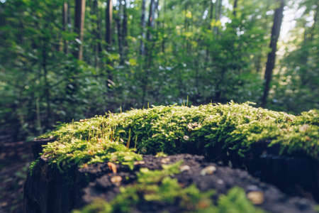 Closeup of moss on stump in sun beams with green blurred forest in the background, fantasy wallpaper with copy space. Selective focus Фото со стока