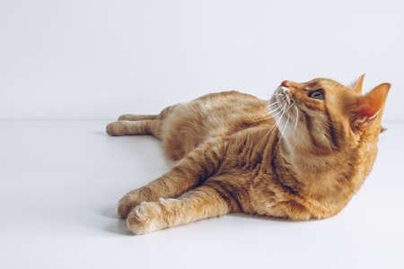 Cute ginger cat on white background. Adorable home pet stock photography. At the vet