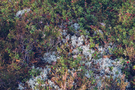 Closeup of reindeer moss, lichen, twigs and pine needles, with mossy texture background. Arctic boreal zone, Karelia nature. Selective focus, blurred background stock photography Фото со стока