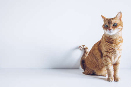 Ginger cute cat sitting and looking curiously on white background. Space for your text. Adorable home pet stock photography Фото со стока