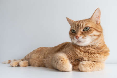 Cute ginger cat lying peacefully on white table background. Adorable home pet stock photography. At the veterinarian