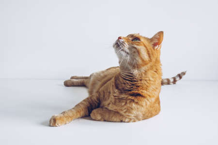 Cute ginger cat lying peacefully on white table background and looking up. Adorable home pet stock photography. At the veterinarian