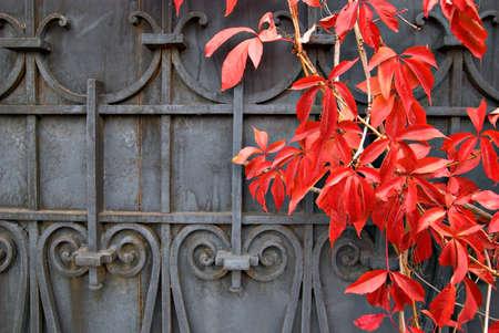 puertas de hierro: Las hojas de las uvas silvestres