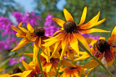 Rudbeckia flowers in the garden in summer. Close up image
