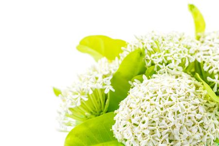 White Ixora or West Indian Jasmine Flower photo