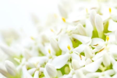jasmine flower: White Ixora or West Indian Jasmine Flower Stock Photo