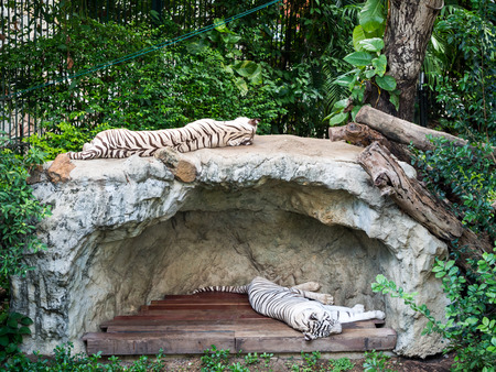 white tigers: White Tigers sleeping on rock in a zoo Stock Photo
