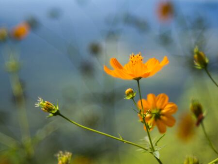 Sulfur Cosmos or Yellow Cosmos on blurry backbround photo