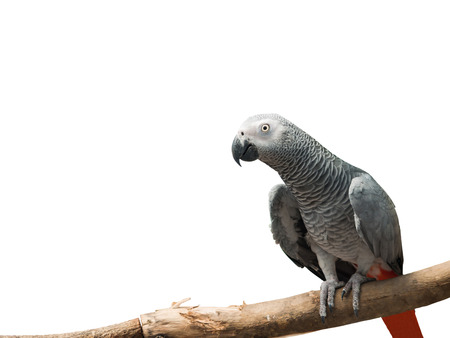 african grey parrot: African Grey Parrot Psittacus erithacus on the branch isolated on white background with clipping path Stock Photo
