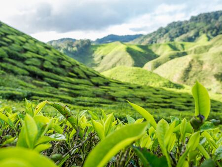 highland: Tea plantation in the Cameron highlands, Malaysia