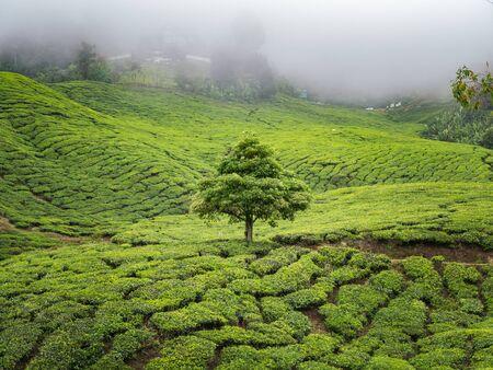 boh: Boh Tea plantation in Cameron highlands, Malaysia Stock Photo