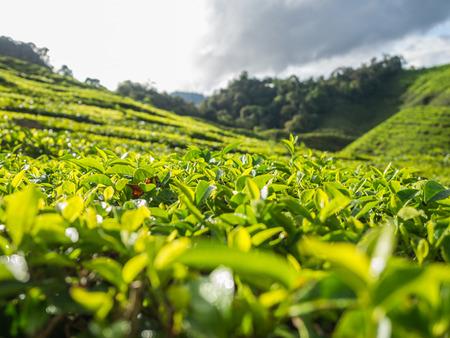 boh: Tea plantation in the Cameron highlands, Malaysia