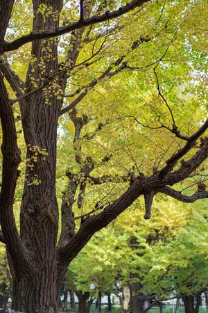 Ginkgo biloba leaf changing color in the ueno park tokyo japan. 版權商用圖片