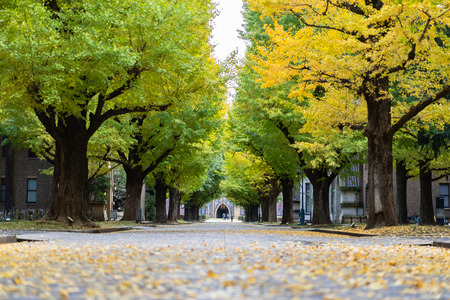 TOKYO, JAPAN - November 20, 2018: Ginkgo yellow leaves at the road inside the University of Tokyo 新聞圖片