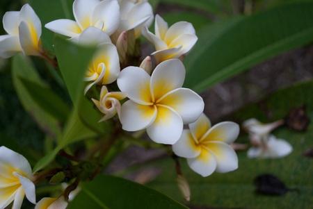 Maldives gardenia in the leaves
