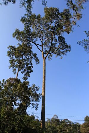 tall tree: A very tall tree met in Chieng Mai  Thailand Stock Photo