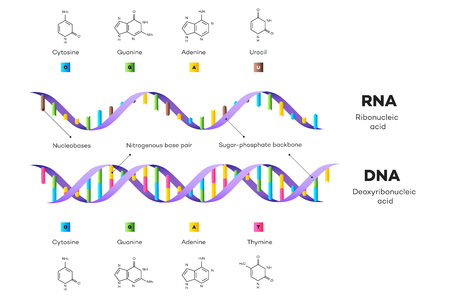 Struktura molekularna DNA i RNA. Ilustracja wektorowa edukacyjne plansza