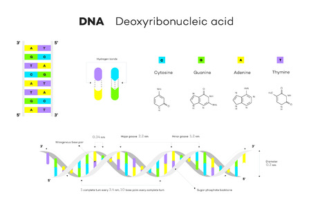 Molecular Structure Of DNA. Infographic Educational Vector Illustration.