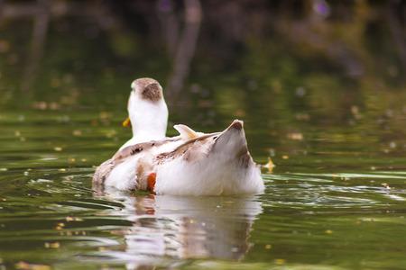 agachado: Un ganso sola nadando en el lago -2- Foto de archivo