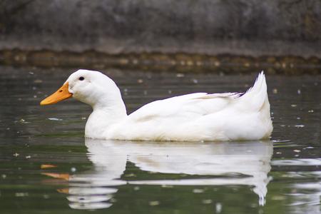 agachado: Un ganso nadando solos en el lago